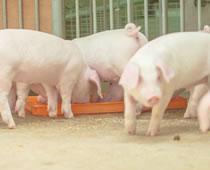 養豚の疾病について
